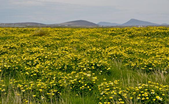 Lesser Celenadine field