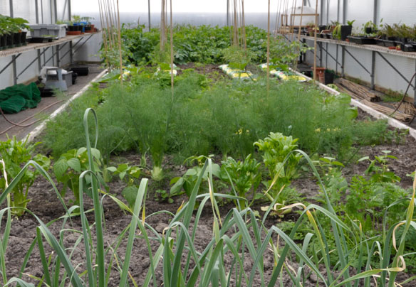 Vegetables in polytunnel in May May