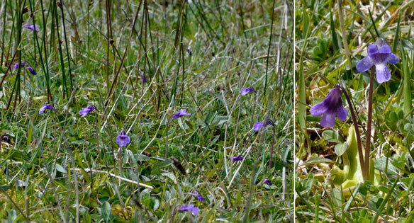 Common Butterwort Pinguicula vulgaris
