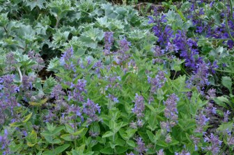 Well somethings work - Nepeta with sea holly and meadow clary.