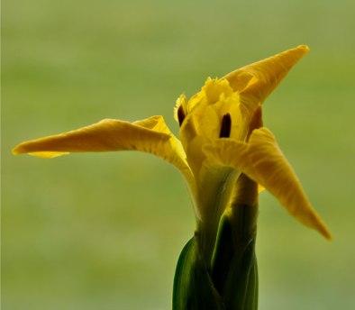 Flag-Iris-3