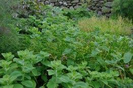 Mint, chives, buckler leaf sorrel