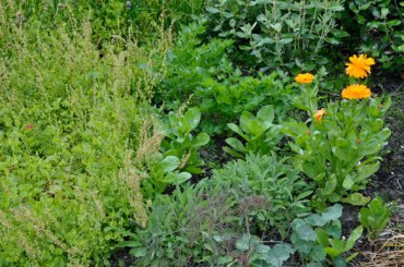 Buckler leaf sorrel, parsley, sage, bronze fennel, pot marigold and nasturtium