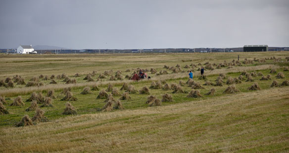Harvesting the cultivated strips on Iochdar Common Grazing.