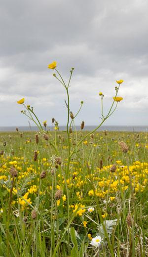 Meadow-Buttercup