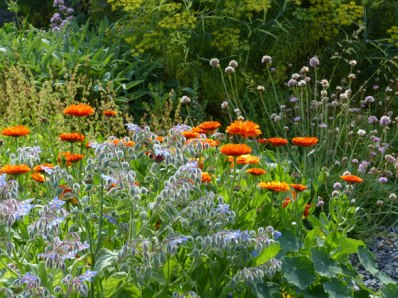 Marigolds with borage