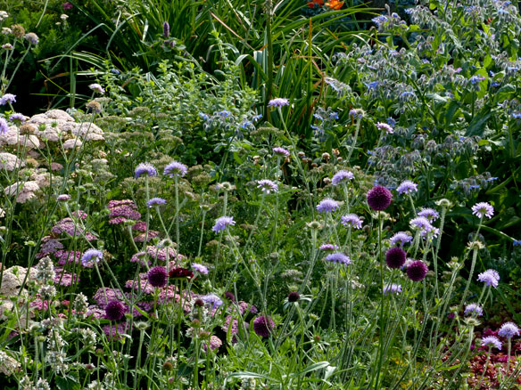Scabious patch