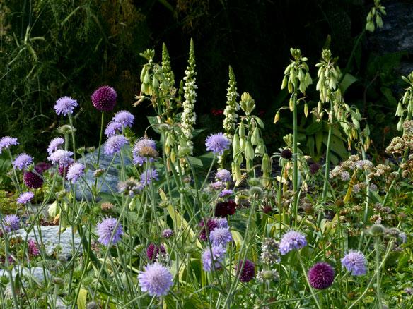 Field scabious (Knautia arvensis), Scabiosa atropurpurea 'Black Cat', Allium sphaerocephalon,  Galtonia viridiflora, Verbascum chaixii album