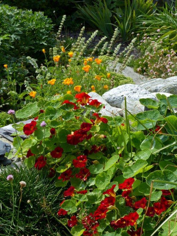 Nasturtiums with California poppies