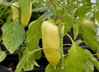 Antohi Romanian Pepper
