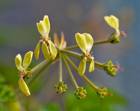 Pelargonium gibbosum
