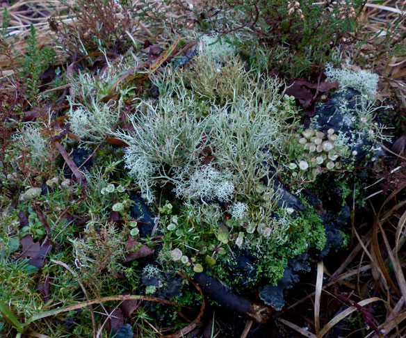 Reindeer Moss (Cladonia portentosa),  Cladonia chlorophaea, Dog Lichen (Peltigera hymenina)