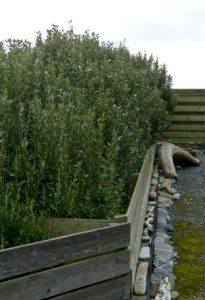 Olearia traversii hedge uncut