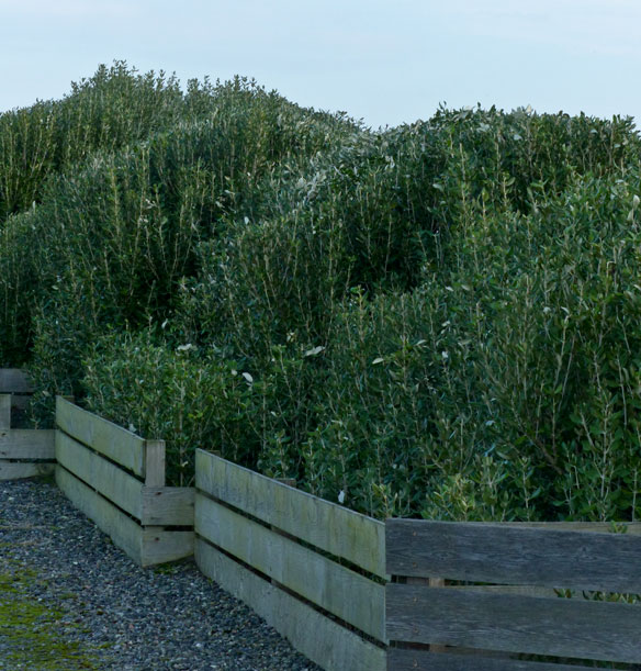 Trimmed-hedge