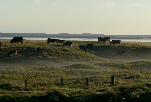 Cows on the machair by Loch Bee