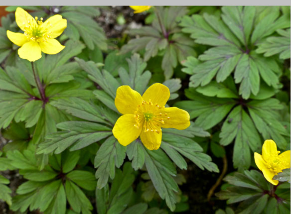 Anemone ranunculoides, Wood Ginger, Yellow Wood Anemone, Buttercup Anemone