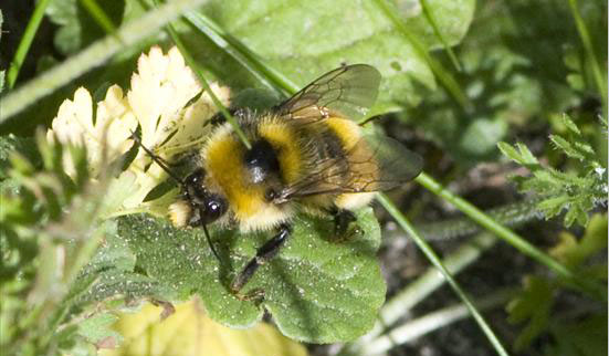 Bombus-distinguendus (Great-Yellow-Bumblebee)