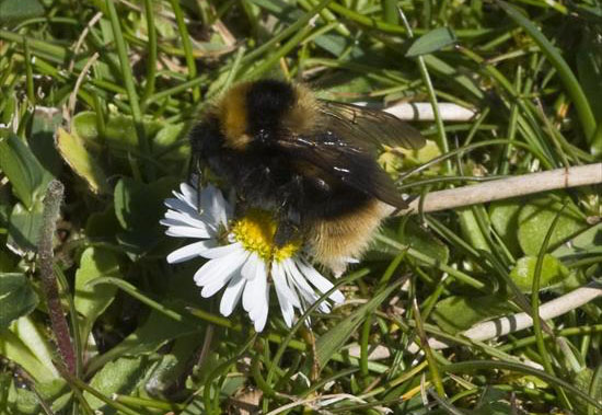 Bombus jonellus (Heath Bumblebee)