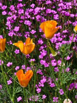 maiden-pinks,-california-poppies