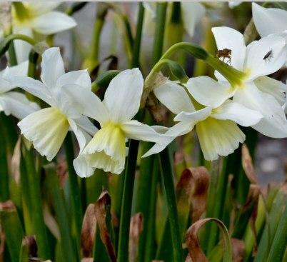 Narcissus-Thalia
