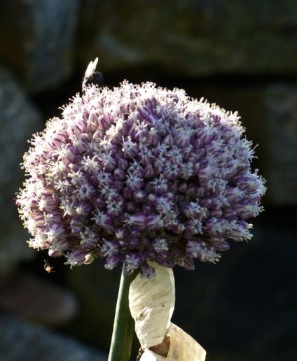 Allium ampeloprasum Perennial Leek