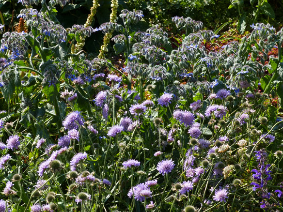 Field scabious with borage