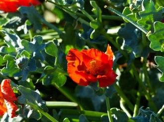 Horned poppy Glaucium flavum var. aurantiacum