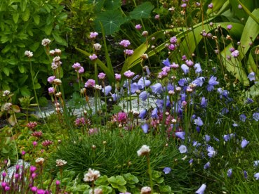 Harebells with thrift