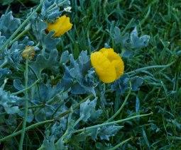 Horned poppy Glaucium flavum
