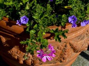 Pelagonium Pink Capricorn, Convolvulus mauritanicus