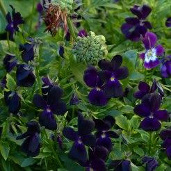 Viola Bowles Black seedling