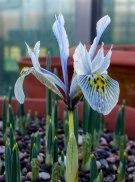 Iris histrioides 'Katherine Hodgkin'