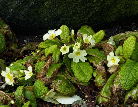 March primroses