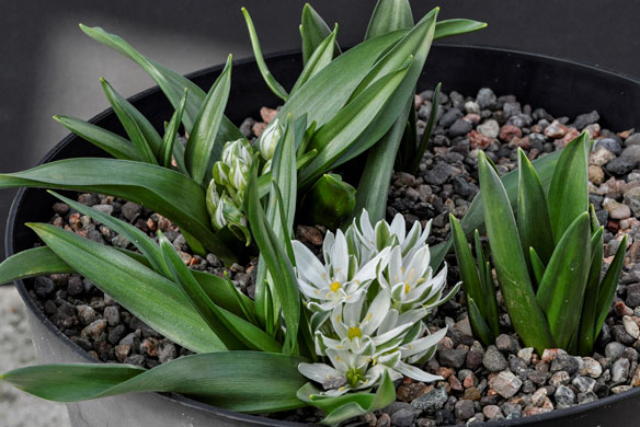 Lance-leaved Star-of-Bethlehem, Ornithogalum lanceolatum