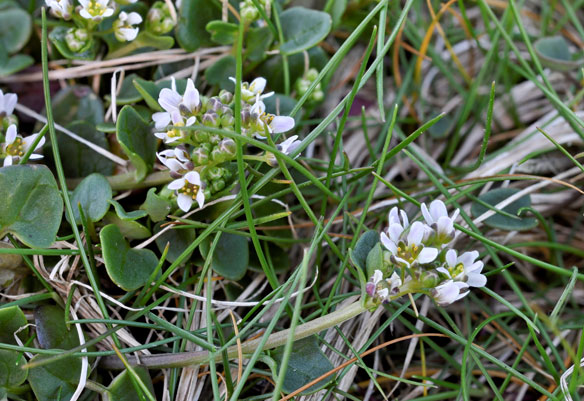 Common Scurvygrass, Cochlearia officinalis