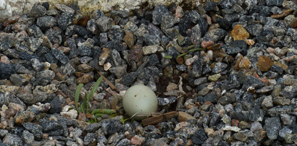 Oystercatcher nest