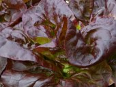Red Little Gem Lettuce