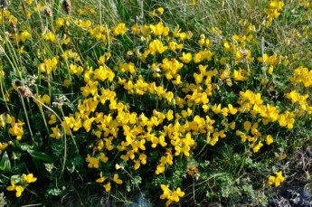 Birds-Foot-Trefoil