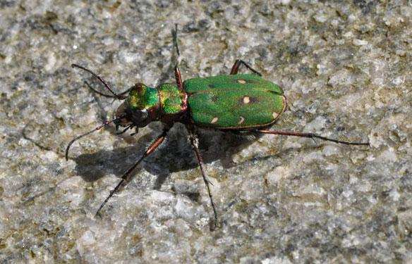 Green Tiger Beetles Cicindela campestris