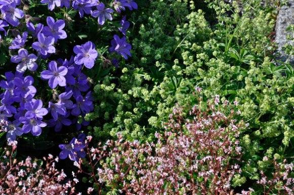Geranium Johnson's Blue, London Pride, Alchemilla erithipoda