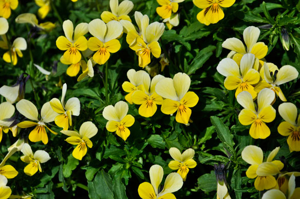 Viola tricolour curtsii, wild pansy, heartsease