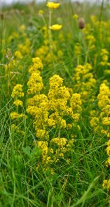 Ladys Bedstraw,