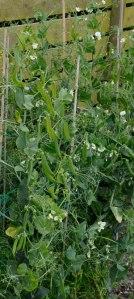 Standard Garden Peas