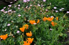 Escholzia and Geraniums