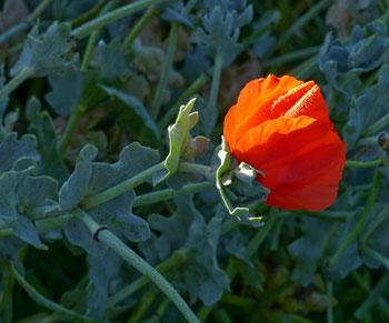 Orange Horned Poppy