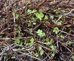 buckler-leaf sorrel