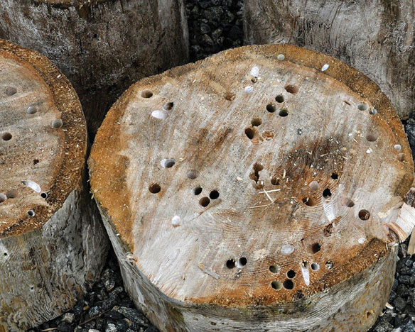 Pine log with ship worm holes