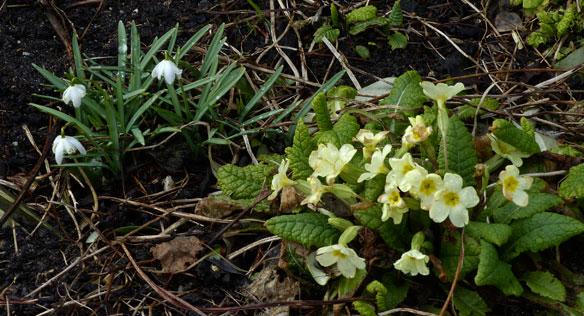 primroses snowdrops