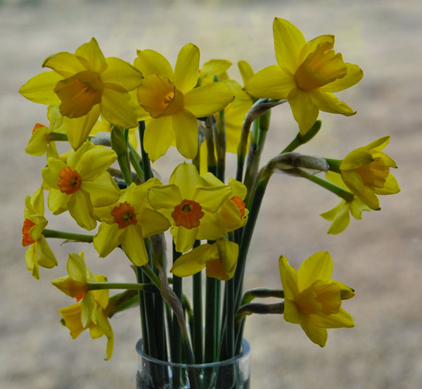 Narcissus tete-a-tete with jonquills