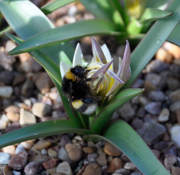 Queen White-tailed Bumblebee on Tulipa tarda
